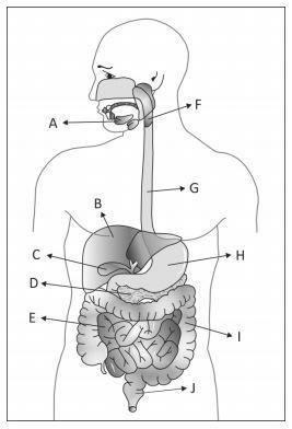 a figura abaixo mostra órgãos do sistema digestório humano