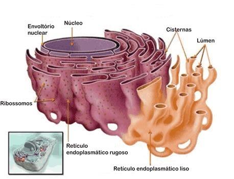 Reticulo endoplasmatico liso protein as para bajar de peso