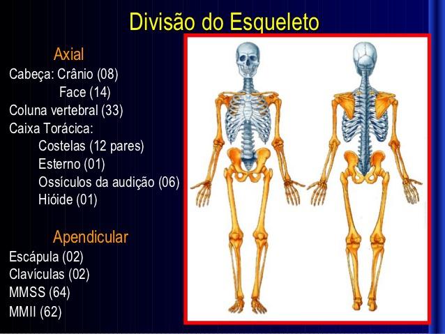 Quais s o as 3 divis es do esqueleto humano for O osso esterno e dividido em