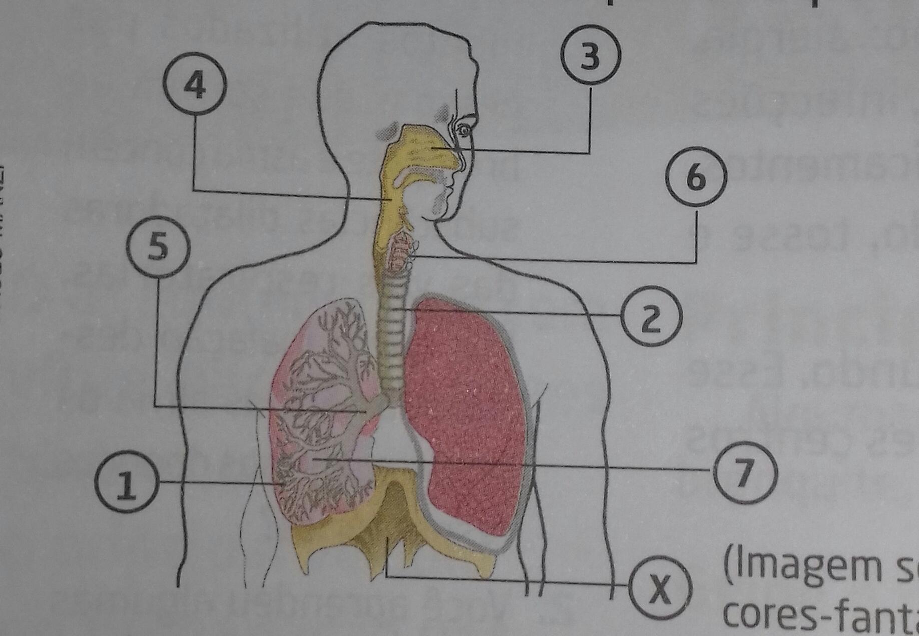 indique a localização dos alvéolos pulmonares. - Brainly.com.br