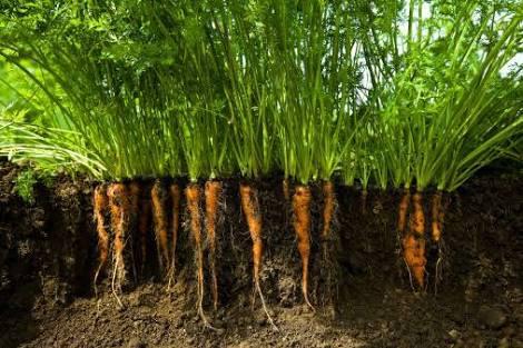 Resultado de imagem para cenoura raiz